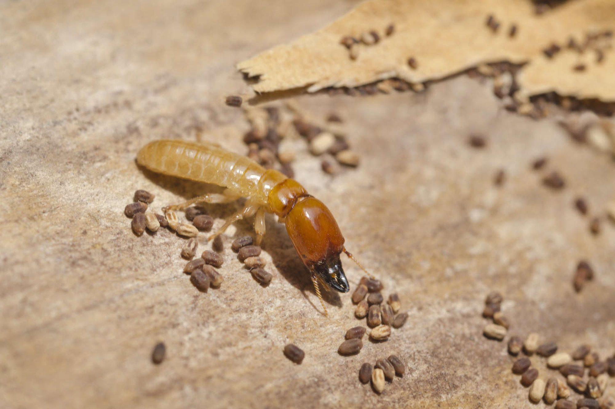 drywood termites glendale burbank